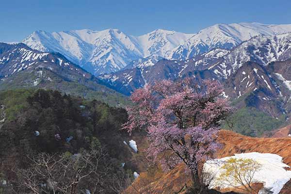 The Lone Cherry of Taruguchi Pass