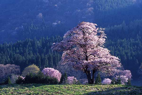 The large wild cherries of Nishizaoho Farm