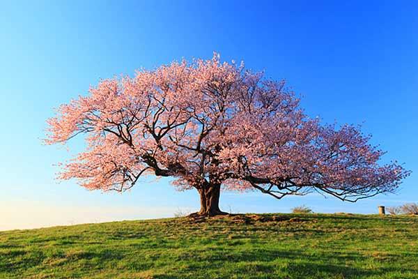 The Lone Cherry of Kamegamori Farm