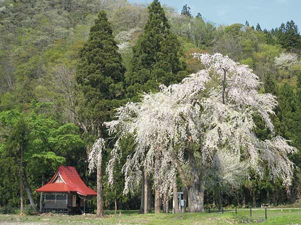 白山大神的枝垂櫻