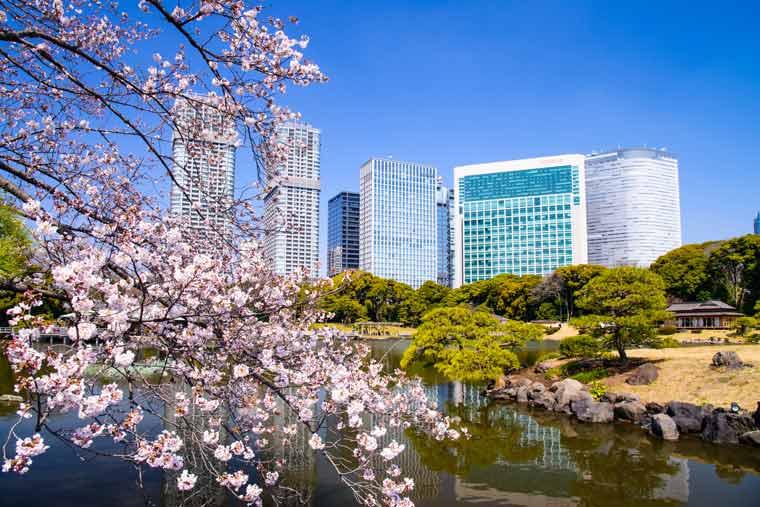 浜離宮恩賜庭園の桜