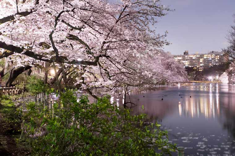 井の頭恩賜公園の桜 ライトアップ