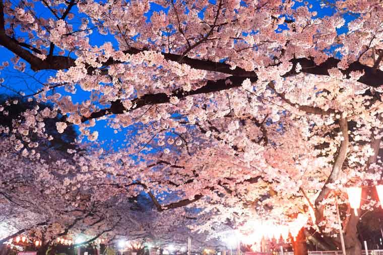 上野恩賜公園の桜 ライトアップ