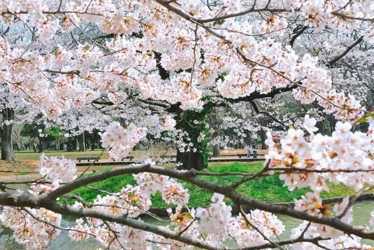 代々木公園の桜
