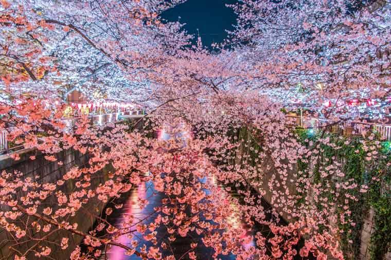 目黒川の桜 ライトアップ