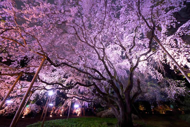六義園の桜 ライトアップ