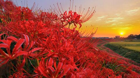 全国の美しい彼岸花・曼珠沙華の名所23選!2019年彼岸花祭りも