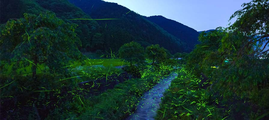 Fireflies all over Asukagawa