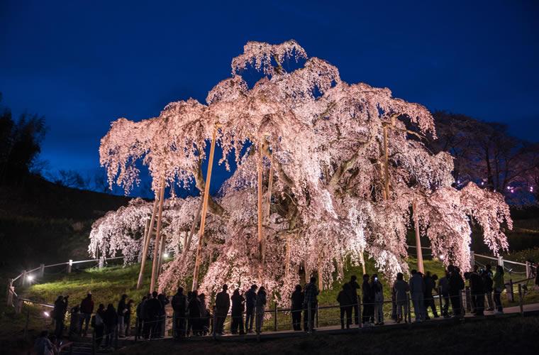 三春滝桜(みはるたきざくら)