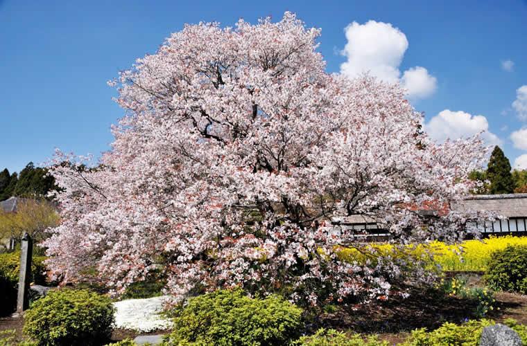 狩宿の下馬桜(かりやどのげばざくら)