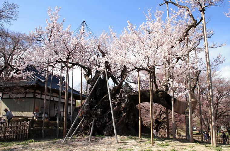 山高神代桜(やまたかじんだいざくら)