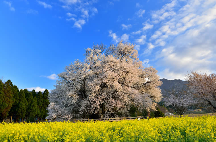 一心行の大桜(いっしんぎょうのおおざくら)