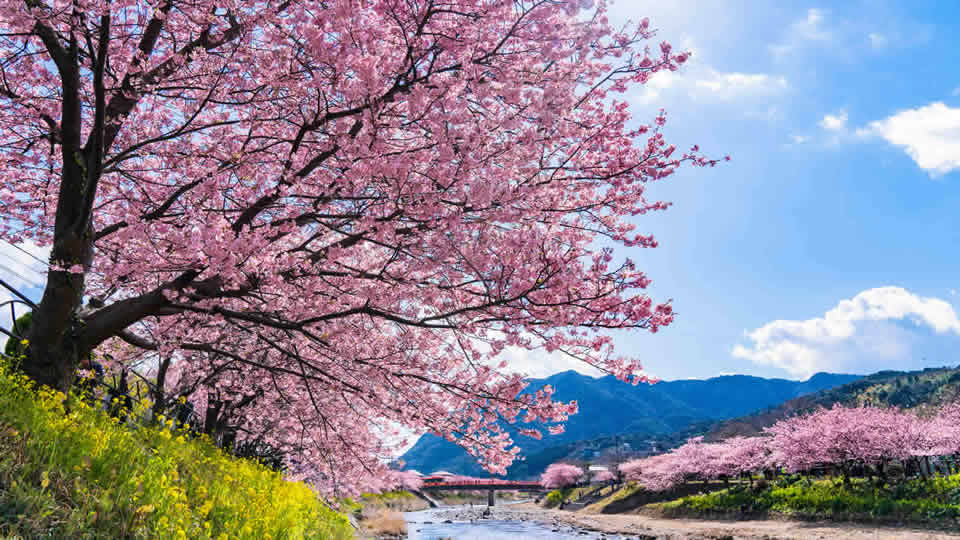 早咲き桜・河津桜を見に行こう!河津桜まつり2018情報
