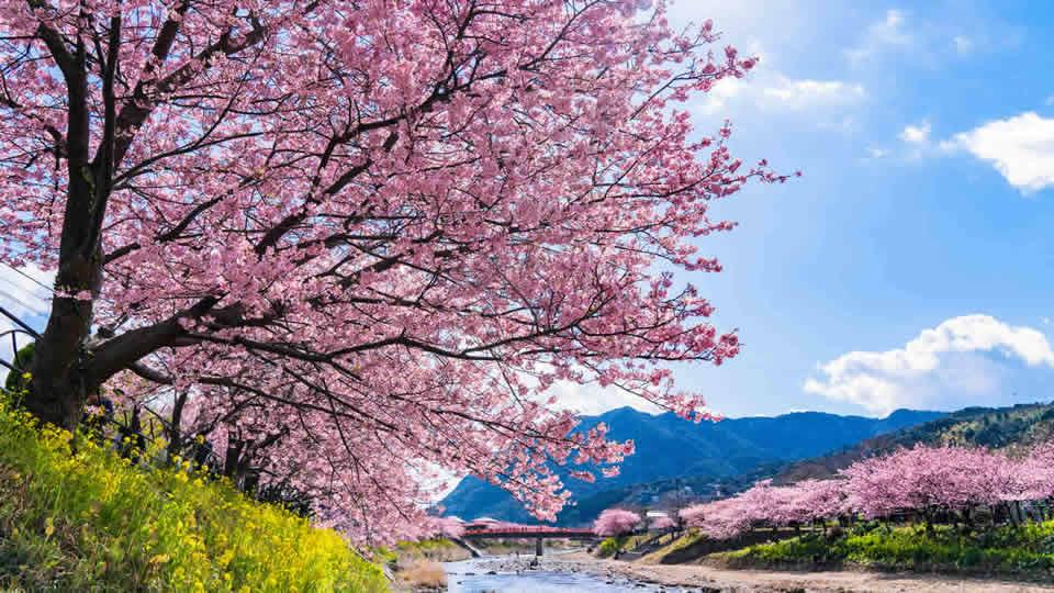 早咲き桜・河津桜を見に行こう!河津桜まつり2019情報