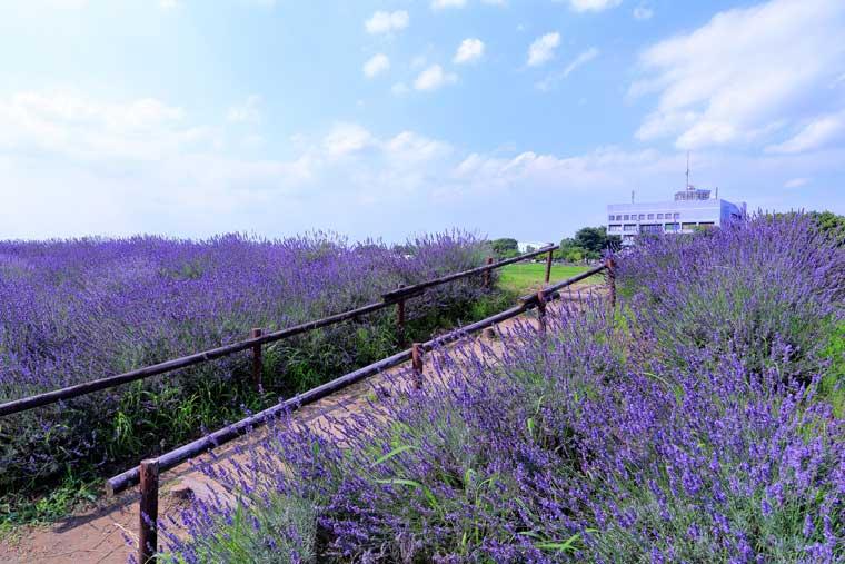 ラベンダー堤(菖蒲総合支所周辺)