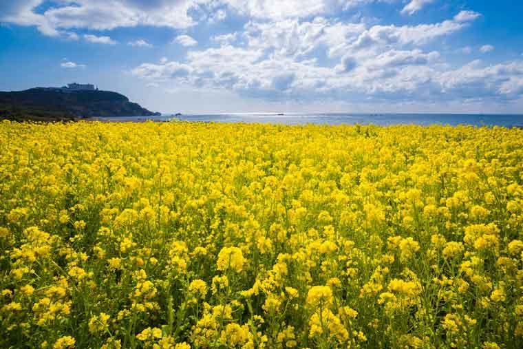 渥美半島・伊良湖岬の菜の花