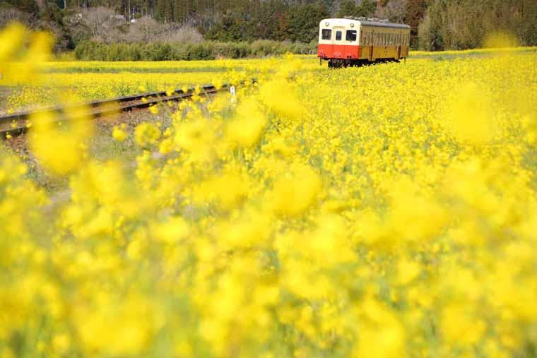 小湊鉄道・いすみ鉄道の菜の花