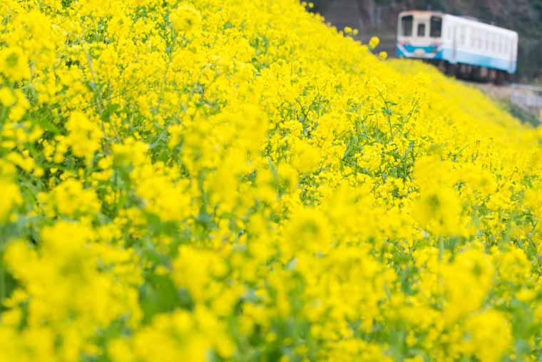 国道378号・JR予讃線の菜の花