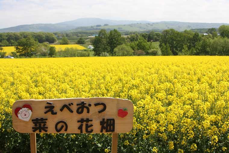 江部乙丘陵地の菜の花