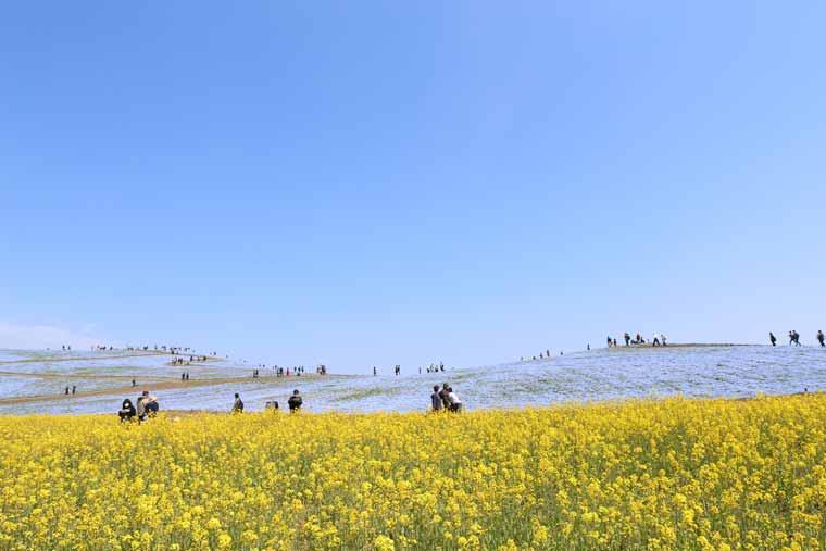 国営ひたち海浜公園の菜の花