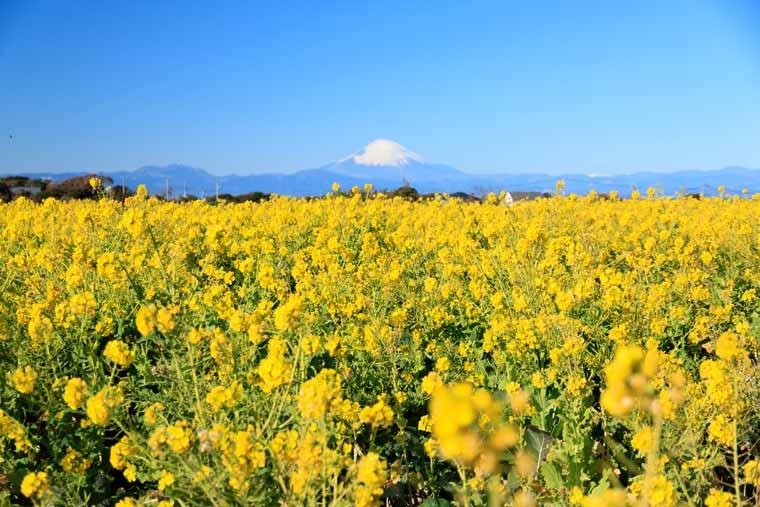 長井海の手公園ソレイユの丘の菜の花