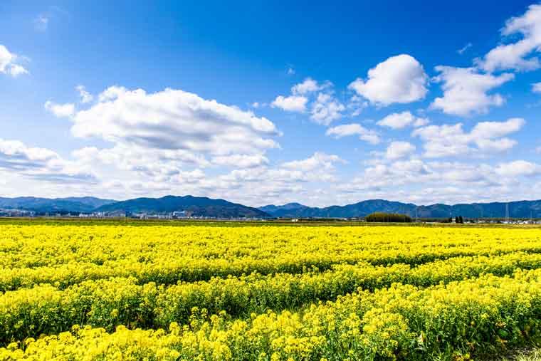 京都かめおかの菜の花畑