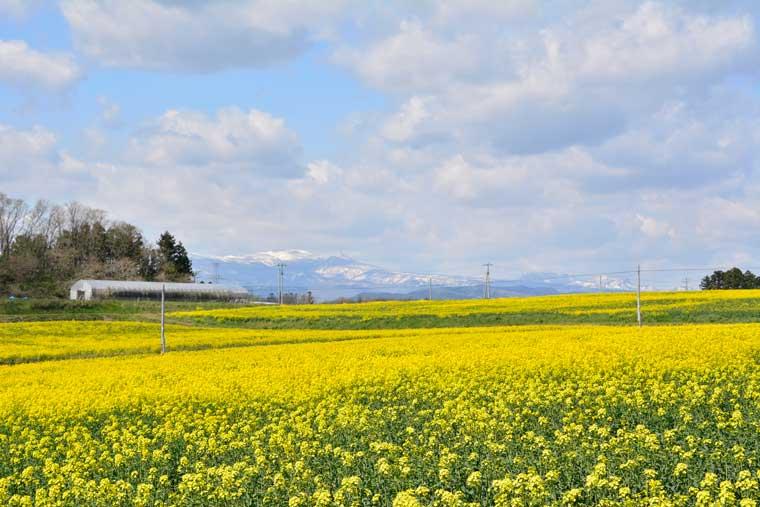 ひまわりの丘の菜の花