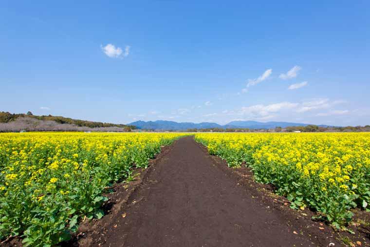 特別史跡公園 西都原古墳群(さいとばるこふんぐん)の菜の花