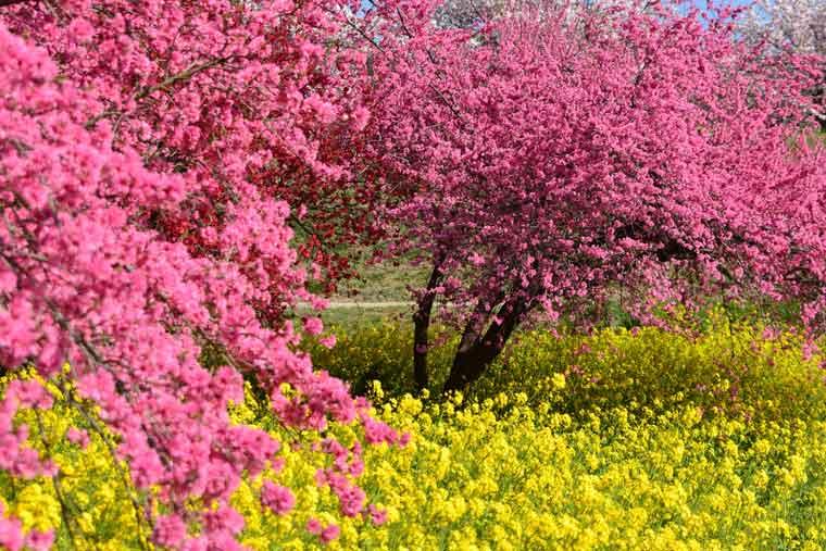 千曲川河川敷・千曲川河川公園(リバーサイドパーク)の菜の花