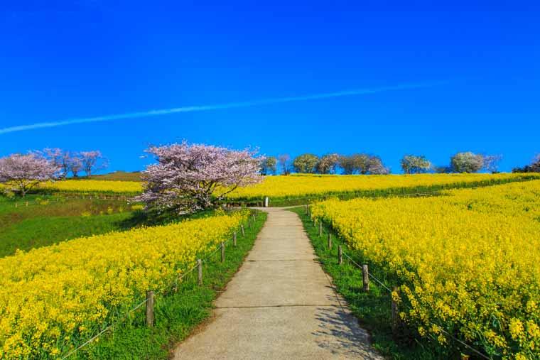 白木峰高原の菜の花