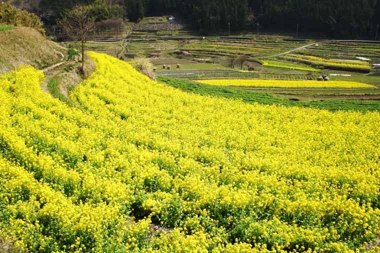稲渕の棚田の菜の花