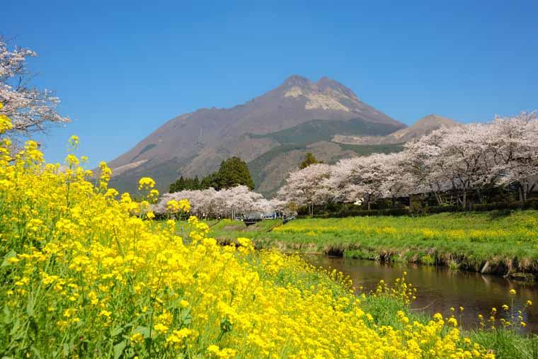 大分川沿いの菜の花