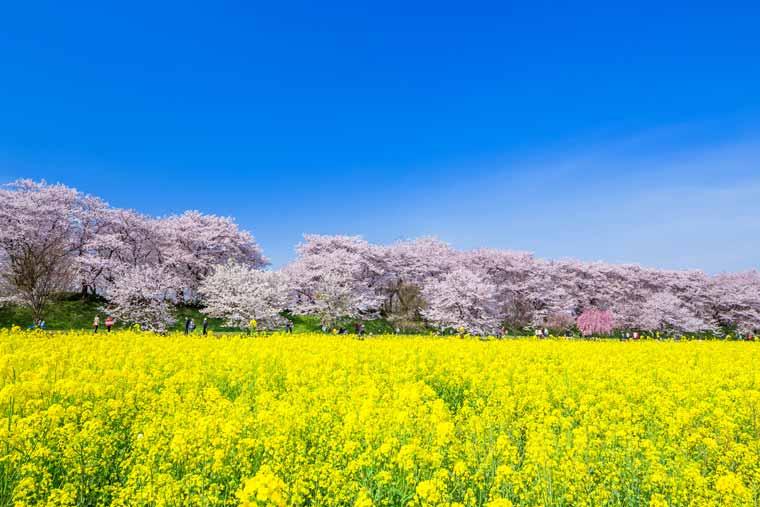 幸手権現堂桜堤の菜の花