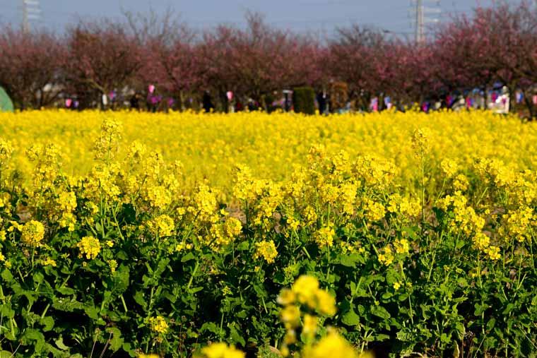 中川やしおフラワーパークの菜の花