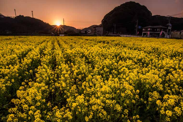南伊豆町の菜の花