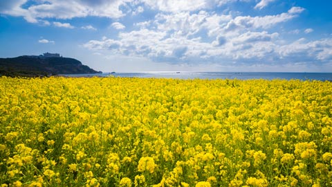 黄色の絶景!美しい菜の花畑・菜の花まつり39選