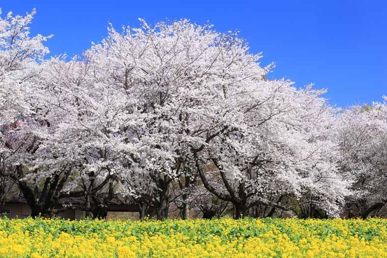 国営昭和記念公園の菜の花