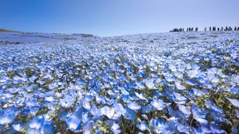 美しい青色の絨毯!全国の絶景ネモフィラ畑12選