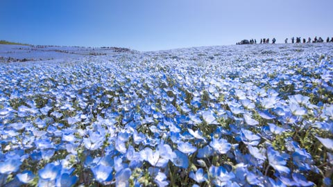 【2020年】美しい青色の絨毯!全国の絶景ネモフィラ畑17選