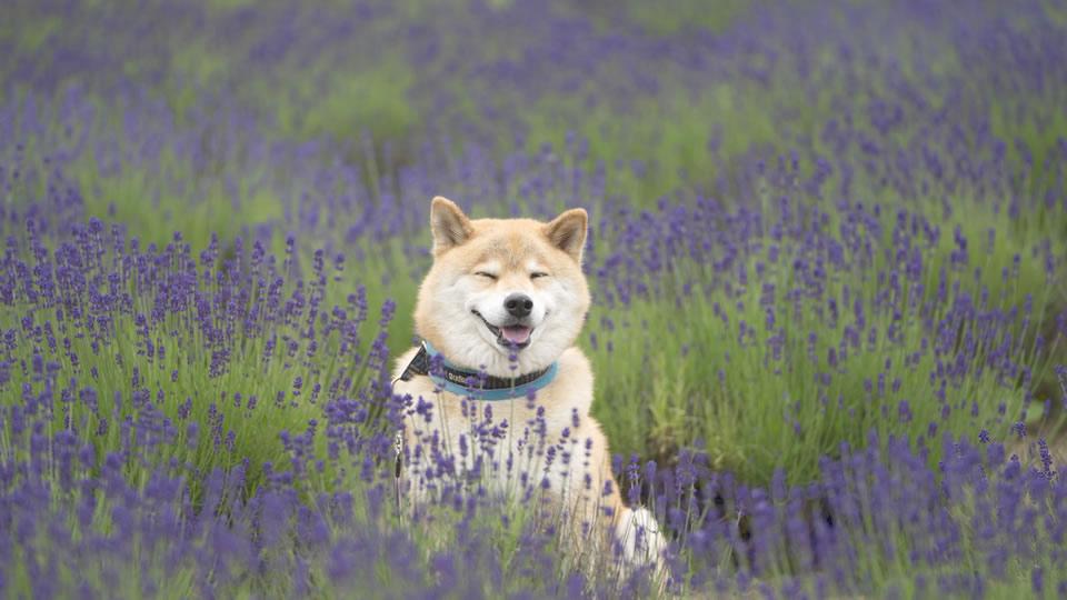 柴犬まるの北海道の旅~富良野グルメとラベンダー巡り