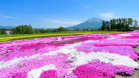 【北海道】芝桜の名所11選! 見頃やイベント情報をご紹介