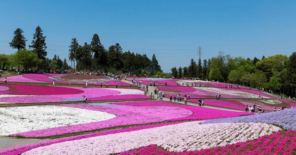 関東の芝桜の名所 芝桜祭り2020情報も!