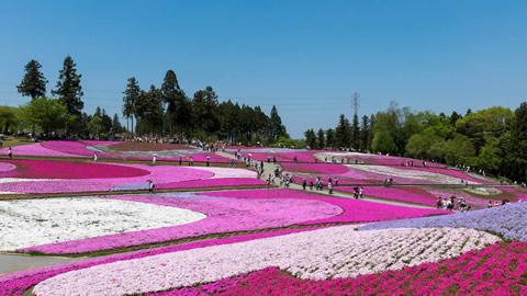 関東の芝桜の名所7選 芝桜祭り情報も