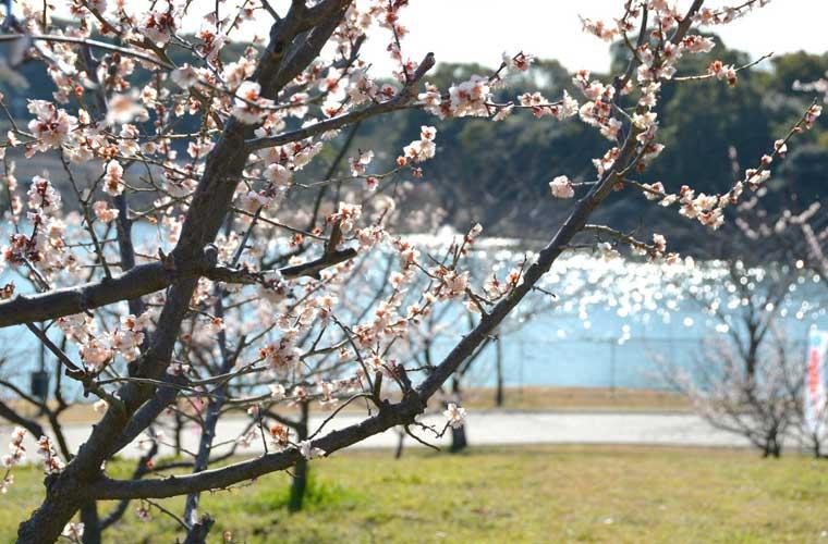 佐布里池梅林(佐布里緑と花のふれあい公園)