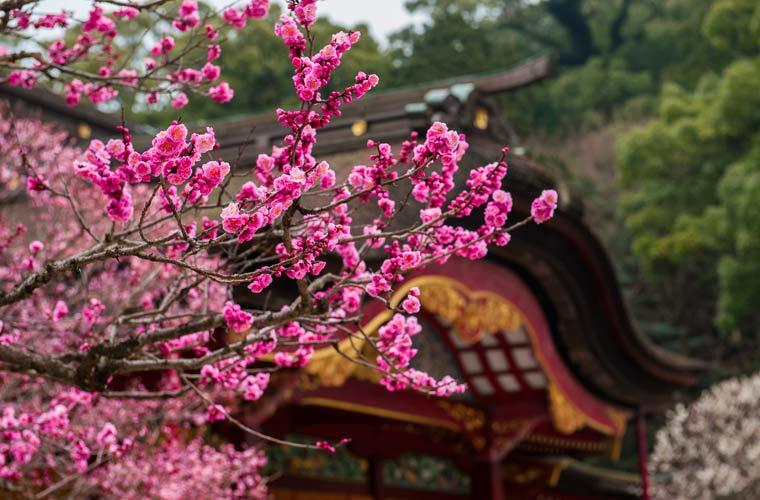 「北海道 桜 梅」の画像検索結果