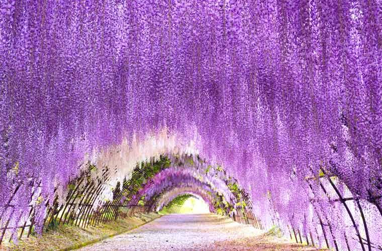 藤まつり 滋賀 植物 藤 春の訪れ 風景   www.gazoit.com