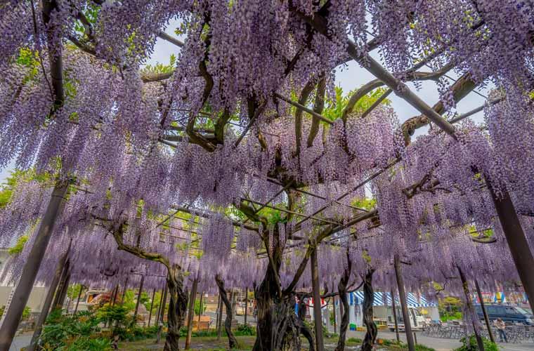 春の絶景!美しい藤の名所・藤ま...