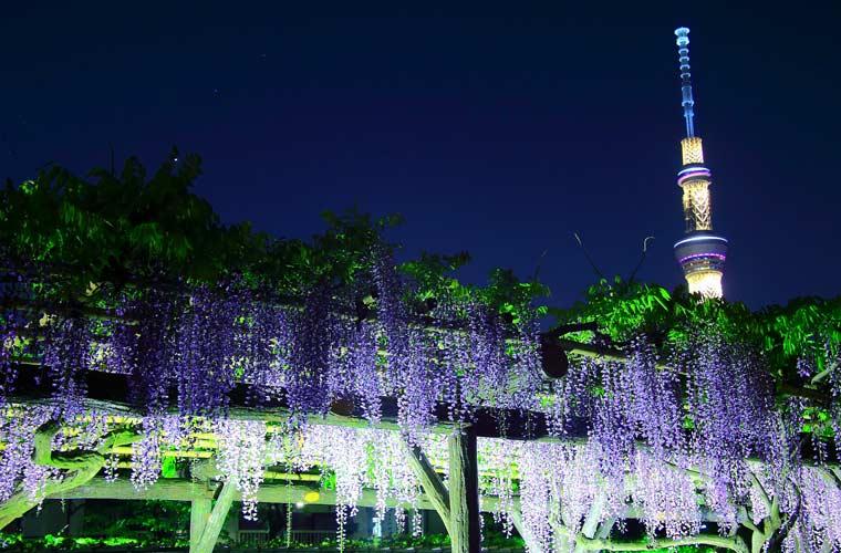 亀戸神社の藤の花