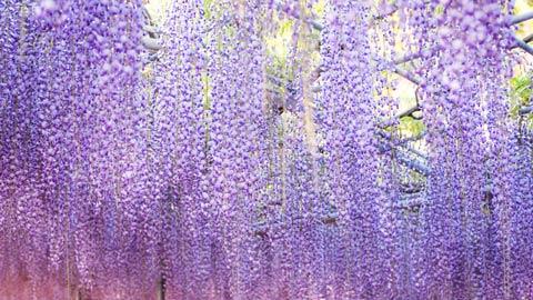 春の絶景!美しい藤の名所・藤まつり2018年