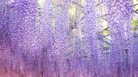 春の絶景!美しい藤の名所・藤まつり2019年